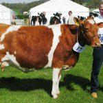 Cow in Calf (2) N Som 13