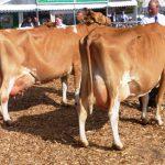 Cows in Milk Devon 13