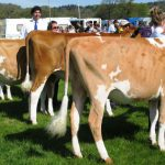 Heifer in Calf Class NS 13