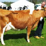 Junor Cow in Milk N S 13