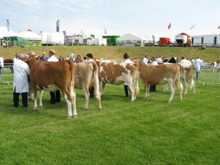 Heifer In Calf Class