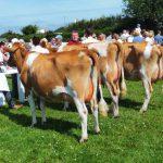 Tredinney heifers 1,2,3