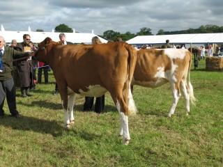 Heifer in calf.