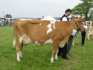 Champion Guernsey