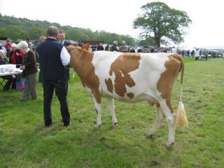 Dry Cow