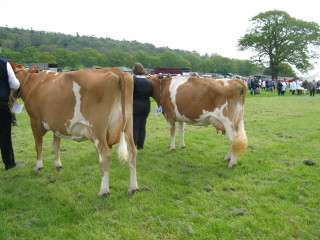 Junior Cow Class