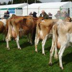 In Milk Cows