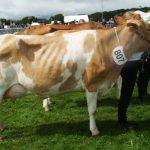 Jon Whites cow