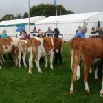 Maiden Heifers
