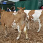 Dry cows