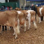 Heifers in milk