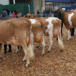 Heifers in milk