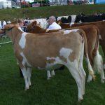 In calf heifers