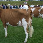 In milk heifers