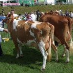 Junior Cows