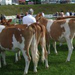 Maiden heifers