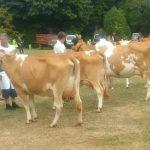 cows class 5