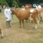 Cows class 4