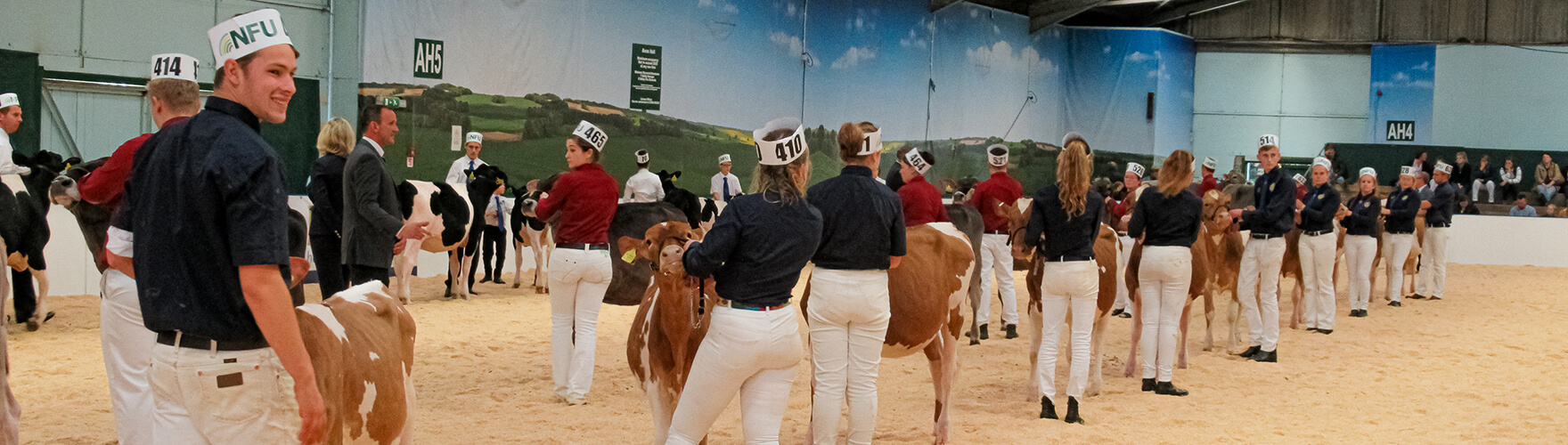 Young Guernsey Cattle breeders being show judged